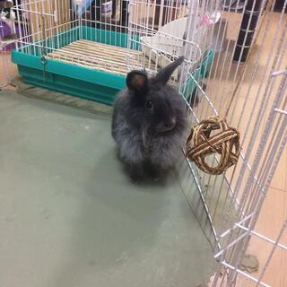 黒ウサギ(1歳半 メス)