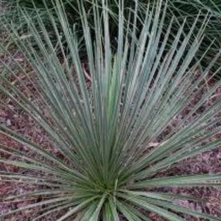 多肉植物  南国植物  ユッカ エラータ 抜き苗 希少種  レア