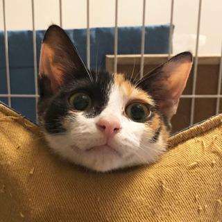 【生後3ヶ月子猫☆三毛猫あんず】