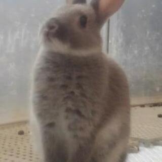 ミニウサギの子供 里親募集(青森県内) 生後2ヵ月~3ヶ月