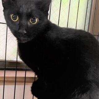 クリクリお目の黒猫ゆいちゃん、推定生後8~10か月