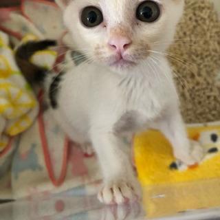 白多め三毛猫 里親様決まりました