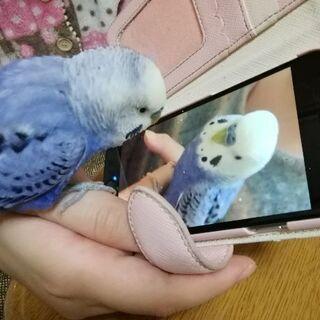 セキセイインコ ラヴィちゃん オス3才  7月生まれ