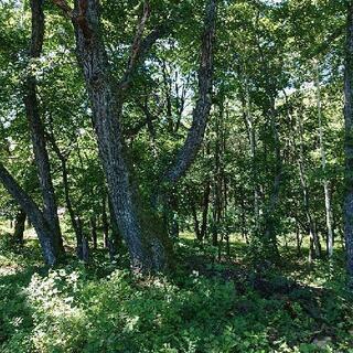 ナラ   立木で販売します。その2  11月23日伐採します。