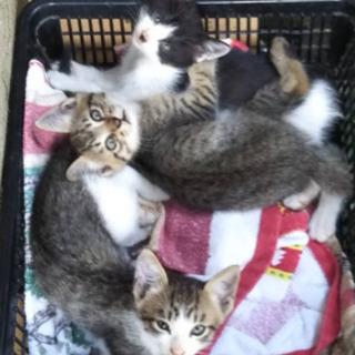 子猫3匹里親探しています(2匹は見つかりました)