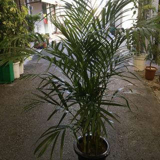 観葉植物 アレカヤシ