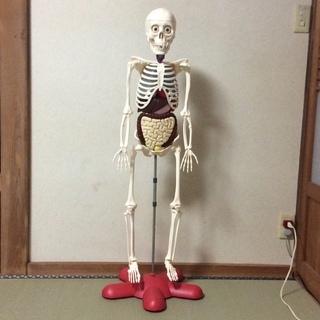 【再値下げ】【値下げ】アーサー 体のふしぎ 骨格模型 完成品