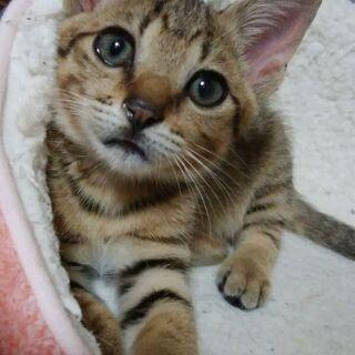 生後2カ月のキジトラの男の子