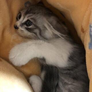 生後1ヶ月半の仔猫をもらって下さい。再投稿です - 大里郡