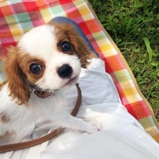 犬友募集★愛犬(キャバリア♀4ヶ月)と私(♀29歳)のお友達を探...