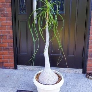 (引き取り決まりました)観葉植物 ポニーテール (別名:トックリ...