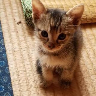 子猫の里親募集 - 本庄市