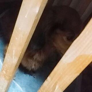 ダックスの黒です!! - 犬