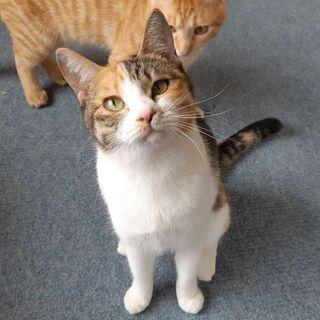 【多頭案件】小町(こまち)★ゴロゴロ美猫さん