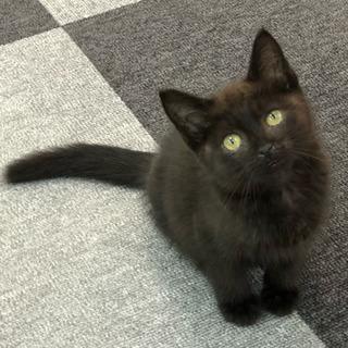 生後2ヶ月くらいの黒猫の女の子 里親募集