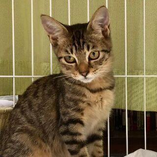 大人の猫ちゃんにひっついて頑張っていた捨て猫ちゃん。3〜4ヶ月。メス - 熊本市