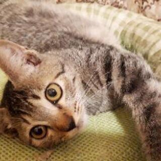 たれ目👀とペチャンコ顔がチャームポイント♥️生後約4ヶ月の男の子 - 猫