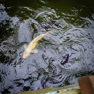 池の鯉の里親募集です(鳥取県倉吉市)