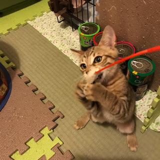 猫空✈️ちゃんin山口県愛護センターより❣️はるはるやってきました❣️ - 里親募集