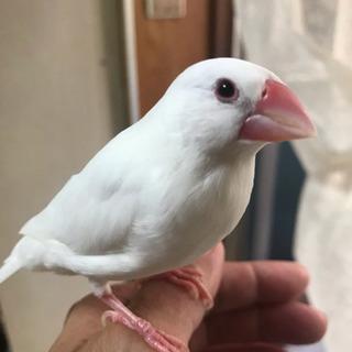 ★白文鳥の里親さんを探しています
