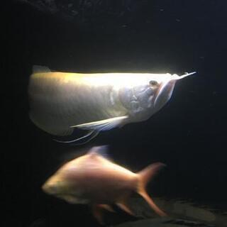 アルビノシルバーアロワナ 約45~47cm ハイボディ