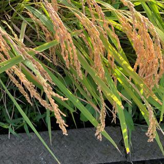 令和1年度 コシヒカリ  新米  農家直送 減農薬特別栽培