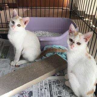 生後4ヶ月の子猫(♂2匹)の里親さんを募集しています!★おうちが...