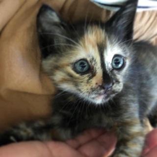 生後1ヶ月半の子猫の里親さんを募集しています