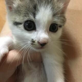 生後1ヶ月~2ヶ月くらい 2匹の子猫ちゃん 里親さん募集!