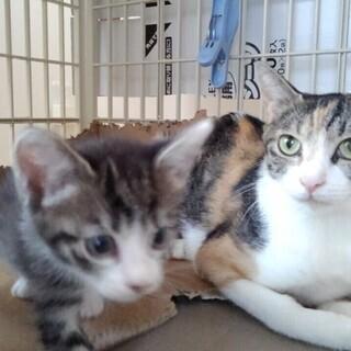 面倒見のいい三毛母猫 推定2-3才 1か月半の子猫と