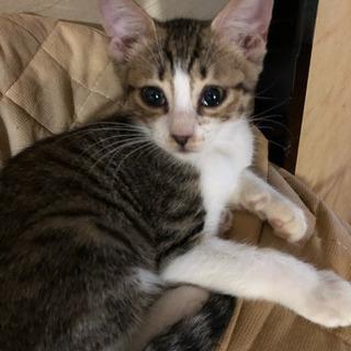 約3ヶ月のメスのキジトラの子猫 − 埼玉県
