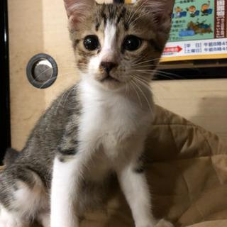 約3ヶ月のメスのキジトラの子猫 - 猫