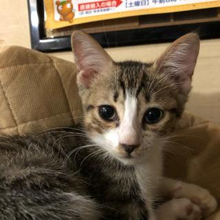 約3ヶ月のメスのキジトラの子猫 - 羽生市
