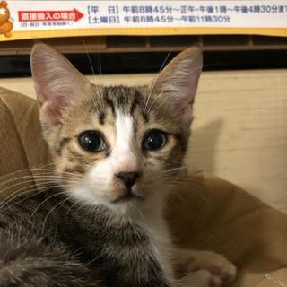 約3ヶ月のメスのキジトラの子猫