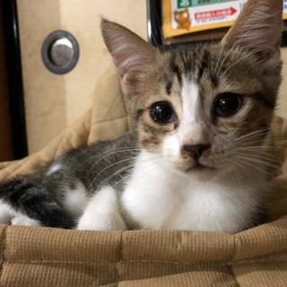 約3ヶ月のメスのキジトラの子猫 - 里親募集