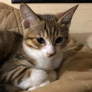 約3ヶ月位のメスのキジトラの子猫の画像