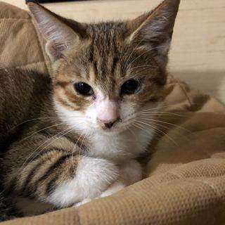 約3ヶ月位のメスのキジトラの子猫 - 猫