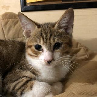 約3ヶ月位のメスのキジトラの子猫 − 埼玉県