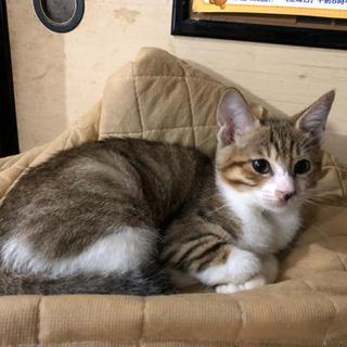 約3ヶ月位のメスのキジトラの子猫 - 里親募集