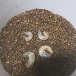 オリジナルカブトムシマット+カブトムシ幼虫