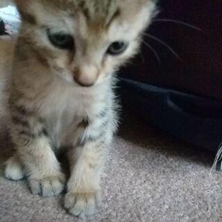 生後1ヶ月~2ヶ月の男の子猫です