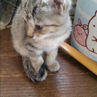 うすいトラガラめす - 猫