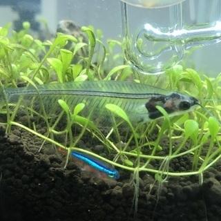 トランスルーセントグラスキャット 魚