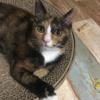 【里親さま決定】個性的な三毛猫橙ちゃん♡7ヶ月