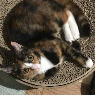 【里親さま決定】個性的な三毛猫橙ちゃん♡7ヶ月 - 猫