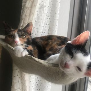 【里親さま決定】個性的な三毛猫橙ちゃん♡7ヶ月 - 里親募集