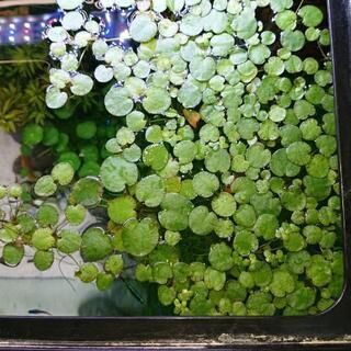 水草 浮き草 アマゾンフロッグビットetc