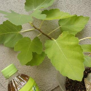イチジクの苗木 葉が落ち始めると取引停止
