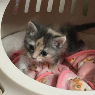 子猫の里親募集!2ヶ月くらいです~。【一時募集を締め切ります。】