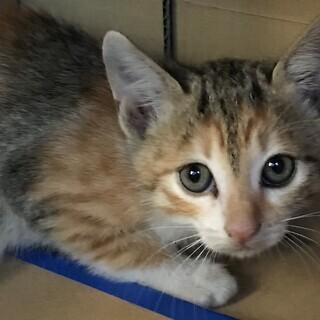 子猫薄い三毛柄1.5ヵ月